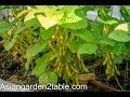 How to grow green soybean in back yard garden (毛豆/黄豆)