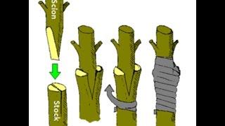 How To Grafting Fruit Trees | Graft Meaning (Urdu/Hindi)