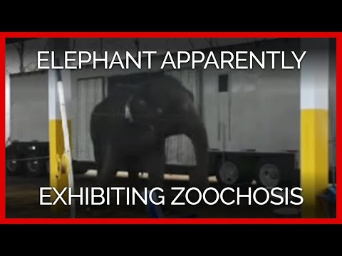 Elephant Apparently Exhibiting Zoochosis