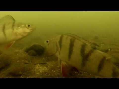 подводные съемки ловли крупного окуня
