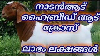 ആടുവളര്ത്താം, ആദായം നേടാം how to goat farming kerala style