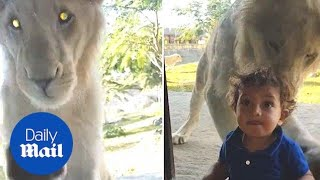 Hilarious moment lion attempts to attack boy through glass - Daily Mail