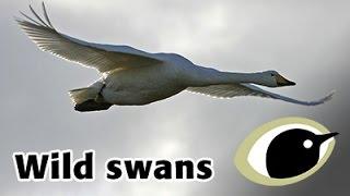 BTO Bird ID - Wild Swans