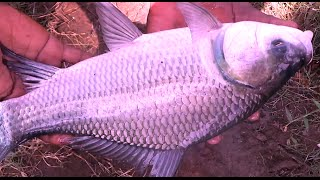 Lived Catla Fish Hunting with Castnet | Gaint Catla Fish Catching | Biggish Fishes caught