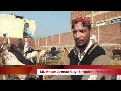 Eid ul Azha Animals Goats Sheep Cows 5 Nov 2011 Call for Order to mobile phone Lahore Pakistan HD