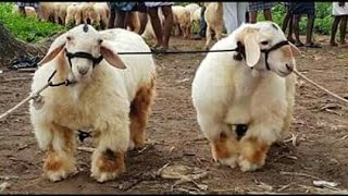 goat farming in pakistan |new goat farm Sheep farming pakistan |