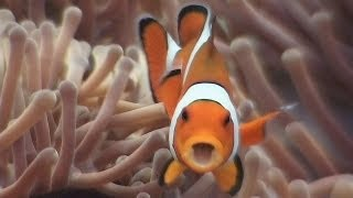 Symbiosis & Anemonefish - Reef Life of the Andaman - Part 18