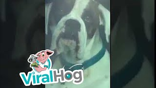 Impatient Dog Honks Horn for Owner's Attention || ViralHog