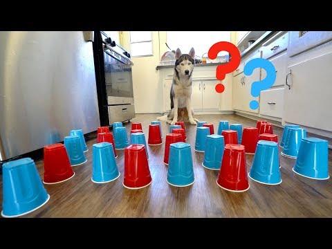 How Smart is My Husky Intelligence Test
