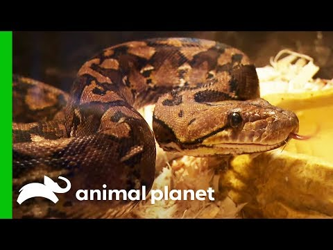 15 Snakes Rescued From A Hoarding Situation Animal Cops Houston
