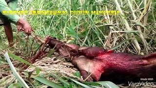 Berburu Tradisional Babi Hutan Episode Babi Kebal Tusuk Model Masyarakat Dusun Mingkrik
