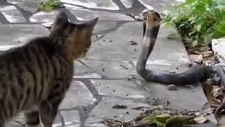 pertempuran kucing dan ular di menangkan....