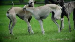 Race The Wind 23 - Greyhound Hunting (Offenbach/Germany) • Dog Galgo Levrier Windhund Chasse