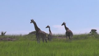 Trekking Across the Nile: the Journey of 20 Rothschild Giraffes