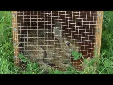 Beagle Boys Rabbit Hunting Rabbit Hunting Training Techniques 9 21 13