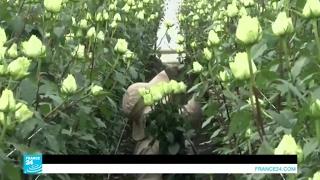 في كولومبيا.. الزهور للتصدير ولإخفاء المخدرات!