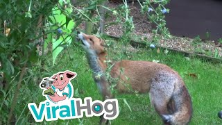 The Fox and a Windmill  || ViralHog
