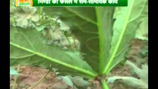 Find all you need to know about right fertilizers for Bhindi cultivation