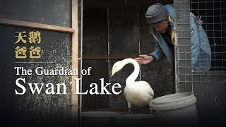 """""""Swan guard"""" devoted to protecting swans for over 40 years"""