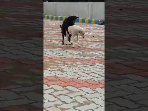 Kalaboli dog sexy