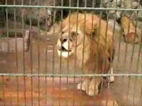 LIONS2 Saying ALLAH Miracles of ALLAH