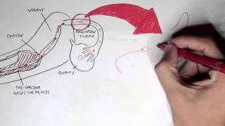 Reproductive System - Overview