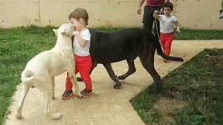 DOGS & BABIES - Dogo Argentino & Cane Corso - Meeting Twins Babies