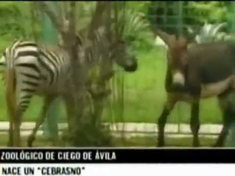 Cebrasno mezcla de burro y cebra YouTube