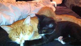 super lasy cats pussy porn