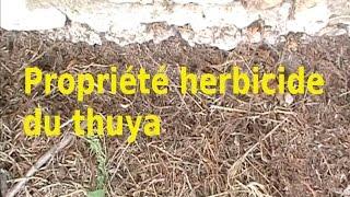 Propriété herbicide du thuya