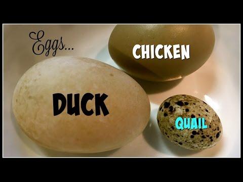 Yummy Eggs Duck vs Chicken vs Quail