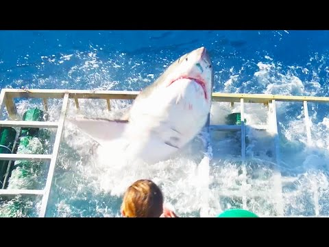 Xxx Mp4 Great White Shark Cage Breach Accident 3gp Sex