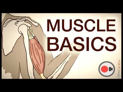Muscle Basics: What Athletes Need to Know About the Muscular System