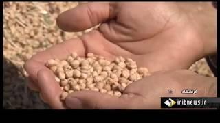 Iran Mechanized Split Yellow Pea harvest, Ravansar county برداشت نخود شهرستان روانسر ايران