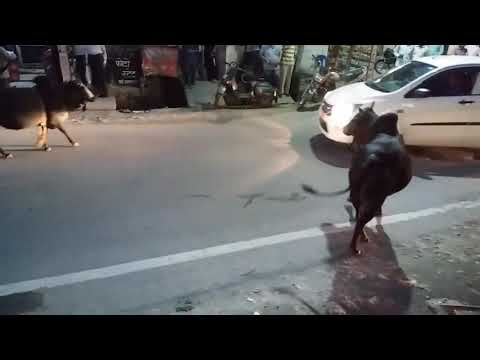 Xxx Mp4 Fierce Bullfighting At Srinagar Garhwal India 3gp Sex