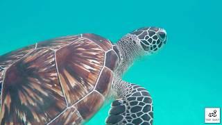 Berenang dengan penyu di Pulau Redang!