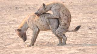 Hyaenas Mating