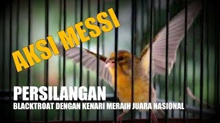 Suara Burung : Aksi Messi - Persilangan Blackthroat Dengan Kenari Raih Juara Nasional Download Mp3 Mp4 3GP HD Video