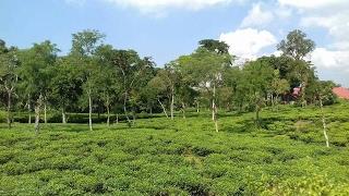 Beautiful Tea Garden Sylhet Bangladesh
