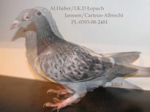 gołębie na sprzedaż z hodowli braci Dyduła