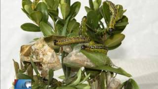 Azijski moljac hara Potkozarjem