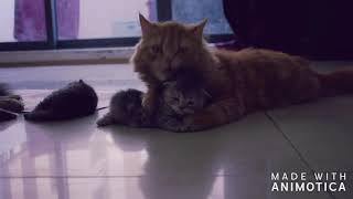 Persian Cats | Cat Lover | kittens Playing with Cat