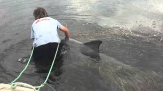 """Man Saves Distressed Dolphin From being trapped on a """"Seaweed"""" Sand Bar."""