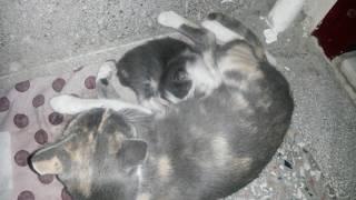 Anne kedi emmeyi yeni öğrenen yavrusunu sabırla bekleyip onu sevgiyle emziriyor