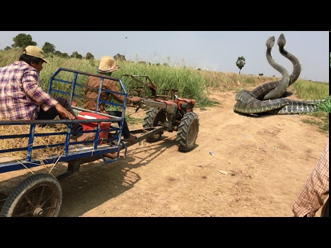 Wow Brave Man Catch big Snake Along the road How To Dig and Catch Snake in Cambodia Snake Attacked