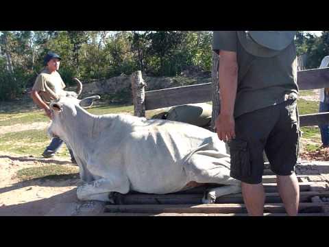 馬殺しから牛を救出 / Salvar a Vaca de matar os burros