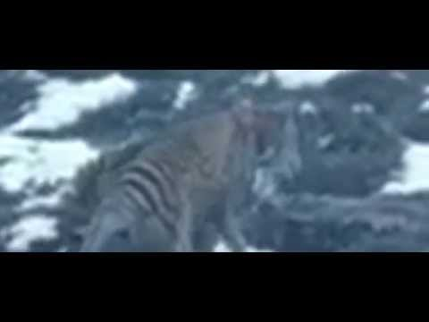 Tasmanian Tiger Filmed in Central Tasmania 2012