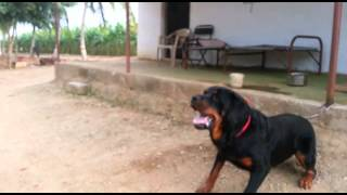 Rottweiler dog attacks man in India