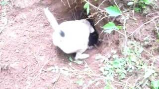 Working Jack Russell terrier tries to pull a groundhog