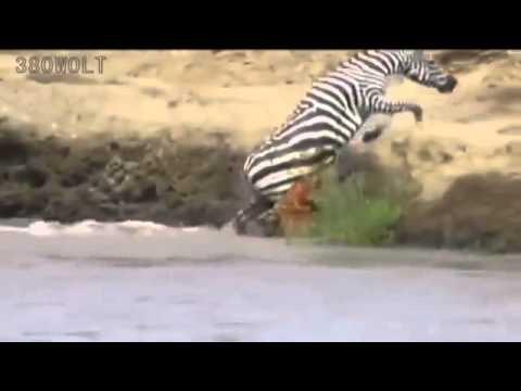 1 la verdadera Africa cocodrilo vs cebra